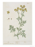 "Rue, Plate 7 from ""A Curious Herbal,"" Published 1782 Giclee Print by Elizabeth Blackwell"