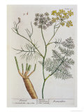 "Fennel, Plate 288 from ""A Curious Herbal,"" Published 1782 Giclee Print by Elizabeth Blackwell"