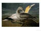 "Gannets from ""Birds of America"" Reproduction procédé giclée par John James Audubon"