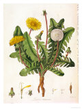Dandelion Giclee Print by William Kilburn