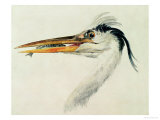 Heron with a Fish Giclee Print by William Turner