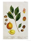 The Nutmeg, Plate 353 from &quot;A Curious Herbal,&quot; Published 1782 Giclee Print by Elizabeth Blackwell