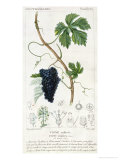 Grape Vine Botanical Plate, circa 1820 Giclee Print by Pierre Jean Francois Turpin