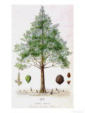 Bald Cypress Tree Giclee Print