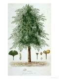 Ginkgo Biloba Tree, Giclee Print
