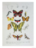 "Various Butterflies from ""Dictionnaire Elementaire D'Histoire Naturelle"" Giclee Print by A. Baron"