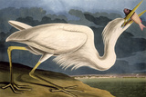 "Great White Heron from ""Birds of America"" Reproduction procédé giclée par John James Audubon"