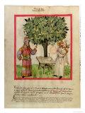 Harvesting Nutmeg, Giclee Print