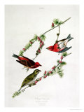 "Purple Finch, from ""Birds of America"" Giclee Print by John James Audubon"