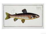 Brown Trout Plate XXIII from Ichthyologie Giclee Print by Andreas-ludwig Kruger