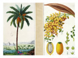 Date Tree and Fruit,Early Nineteenth Century Giclee Print by Pierre Jean Francois Turpin