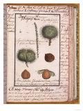 "Chestnut, from ""Dizionario Di Botanica"" Giclee Print"