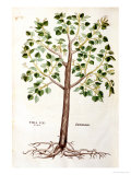"Tilia Foemina, Lindenbaum, or Lime Tree, Illustration from ""De Historia Stirpium"" Giclee Print by Leonhard Fuchs"
