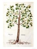 "Tilia Foemina, Lindenbaum, or Lime Tree, Illustration from ""De Historia Stirpium"" Premium Giclee Print by Leonhard Fuchs"