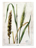 Wheat Giclee Print by Marguerite Buret