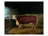 Portrait of a Prize Hereford Steer, 1874 Giclee Print by Richard Whitford