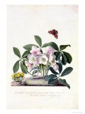 Christmas Rose and Winter Aconite Giclee Print by Georg Dionysius Ehret