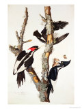 Ivory-Billed Woodpecker, 1829 Reproduction procédé giclée par John James Audubon