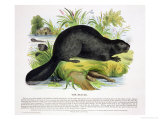 The Beaver, Educational Illustration Pub. by the Society for Promoting Christian Knowledge, 1843 Reproduction procédé giclée par Josiah Wood Whymper