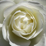 Rose blanche Art par Laurent Pinsard