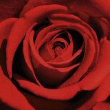 Rose rouge Posters par Laurent Pinsard