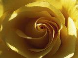 Rose jaune Affiches par Laurent Pinsard