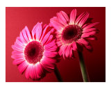 Gerbera Daisy Photographic Print by Sam Lee