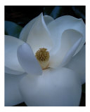 Magnolia Photographic Print by Larry Powell