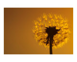 Dandelion Photographic Print by Mikael Svensson