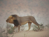 A Lion Pushes on Through a Gritty Wind in the Nossob Riverbed Photographic Print by Chris Johns
