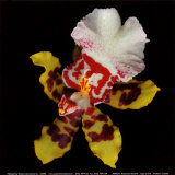 Tiger Orchid Prints by Rosemarie Stanford