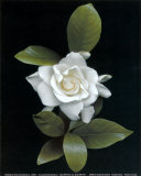 Gardenia Glory Prints by Rosemarie Stanford