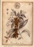 Cannelle de Ceylan Prints by Vincent Jeannerot