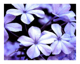 Blue Petals Photographic Print by Debby WESTCOTT