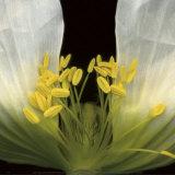 Symphony Poppy Poster by Pip Bloomfield