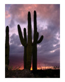Saguaro Cactus at Sunset Photographic Print by Aaron M Hackett