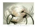 Huntington Witherill - Spider Mums II Plakát