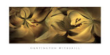 Lilies No. 35 Prints by Huntington Witherill