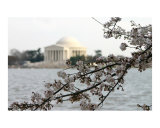 Washington DC Cherry Blossom with Jefferson Memorial Photographic Print by William Luo