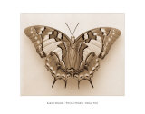 Polyura Pyrrhus, Dorsal View Prints by Raquel Edwards
