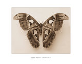 Attacus Atlas Print by Raquel Edwards