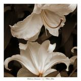 White Lilies Print by Rebecca Swanson