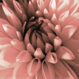 Pink Dahlia Prints by Shawn Kapitan