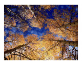 Canopy of Aspen Leaves at Snowbowl Photographic Print by Jeffrey Wymore