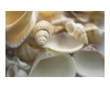 Mixed white British seashells Photographic Print by Abby Rex