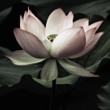 The Lotus I Poster van Andy Neuwirth