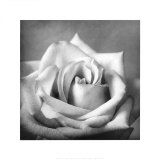 White Rose II Prints