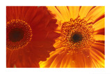 Gerbera Daisies Photo