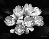 Harold Silverman - Camellia Bloom - Poster