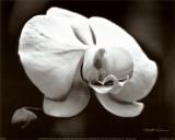 White Orchid Kunstdrucke von Harold Silverman